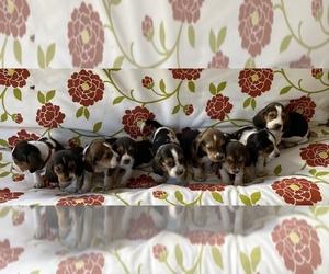 Basset Hound Puppy for sale in NESHOBA, MS, USA