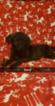 Puppy 5 German Shepherd Dog-Goldendoodle Mix