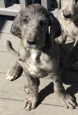 Great Dane Poodle Mix Breeders