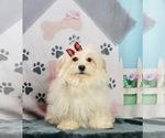 Puppy 9 ShihPoo