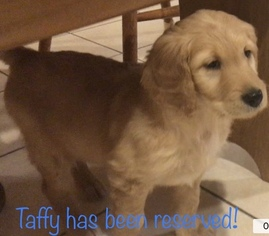 Goldendoodle Puppy For Sale in NEW HAVEN, IN, USA