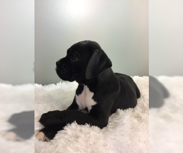 Medium Photo #10 Boxer Puppy For Sale in MILLERSBURG, OH, USA