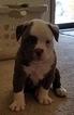 American Bulldog Puppy For Sale in ENID, Oklahoma,