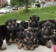 German Shepherd Dog Puppy For Sale in ROANOKE, VA