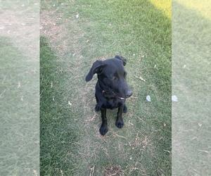 Labrador Retriever Dog for Adoption in HUNTSVILLE, Alabama USA