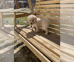 Poodle (Toy) Puppy for Sale in SPENCER, Tennessee USA