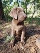 Labrador Retriever Puppy For Sale in COLORADO SPRINGS, Colorado,