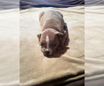 Puppy 3 Bullypit