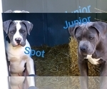 PURPLE RIBBON Blue American Pitbull Terrier Pups