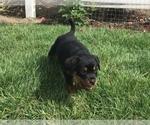 Small #24 Rottweiler