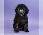 Puppy 11 Poodle (Miniature)
