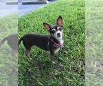 Small #17 Chihuahua