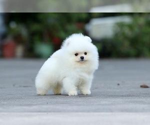 Pomeranian Dog for Adoption in CINCINNATI, Ohio USA