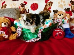 Mal-Shi Puppy For Sale in SCOTTSDALE, AZ