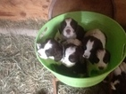 English Springer Spaniel Puppy For Sale in MAYVILLE, NY, USA