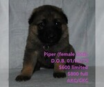 Puppy 13 German Shepherd Dog