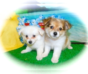 Ewokian Puppy for Sale in HAMMOND, Indiana USA