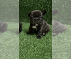 Bulldog Puppy for sale in DALLAS, TX, USA