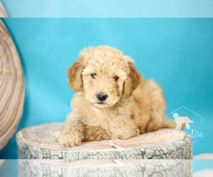 Goldendoodle Puppy for sale in CARLOCK, IL, USA