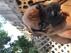 Boxer Puppy For Sale in GLENDALE, CA,
