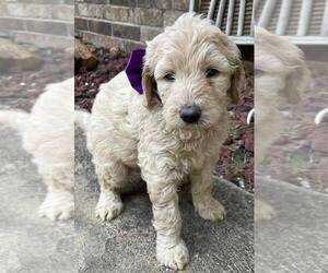 Goldendoodle Puppy for sale in LICKING, MO, USA
