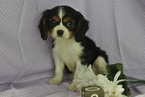 Cute Cavalier King Charles Puppies 4sale