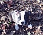 Small #10 Boston Terrier