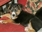 Euro Mountain Sheparnese Puppy For Sale in BELLVILLE, OH, USA