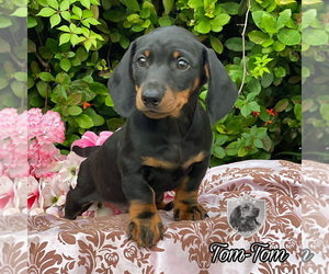 Dachshund Puppy for sale in MIAMI, FL, USA