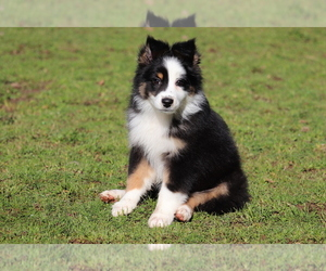 Miniature Australian Shepherd Puppy for Sale in CHEHALIS, Washington USA