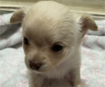 Small Photo #2 Chihuahua Puppy For Sale in NEVADA, TX, USA
