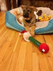 German Shepherd Dog Puppy for sale in STREETSBORO, OH, USA