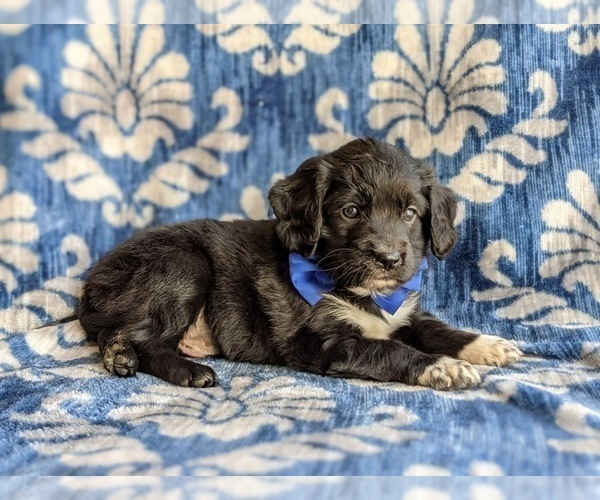 Medium Photo #5 Cocker Spaniel-Unknown Mix Puppy For Sale in CHRISTIANA, PA, USA