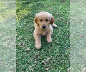 Golden Retriever Puppy for sale in CHATSWORTH, CA, USA