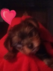Yorkshire Terrier Puppy for sale in PALM BAY, FL, USA