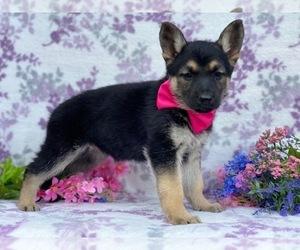 German Shepherd Dog Dog for Adoption in LANCASTER, Pennsylvania USA