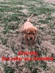 Labrador Retriever Puppy For Sale in MBORO, TN, USA