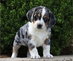 Small Australian Shepherd-Beagle Mix