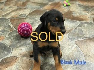 Doberman Pinscher Puppy For Sale in HAYESVILLE, NC, USA