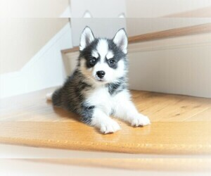 Pomsky Puppy for Sale in DRACUT, Massachusetts USA