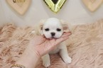Peke-A-Poo Puppy For Sale in LAS VEGAS, NV, USA