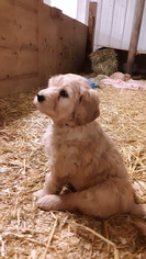 Goldendoodle Puppy for sale in CATO, NY, USA