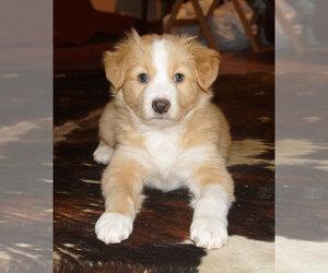 Australian Shepherd Puppy for sale in ALLEGHENYVILLE, PA, USA