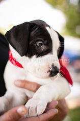 Great Dane Puppy For Sale in AURORA, CO, USA
