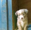 Miniature Australian Shepherd Puppy For Sale in SCAPPOOSE, OR,