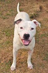 Jaxson - Pit Bull Terrier Dog For Adoption