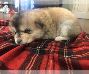 Pomeranian-Pomsky Mix Puppy for sale in FRANKLIN, KY, USA