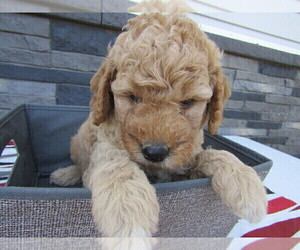 Goldendoodle-Unknown Mix Puppy for sale in SOUTH BEND, IN, USA