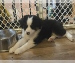 Small #5 Miniature Australian Shepherd