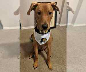 Labralas Dog for Adoption in NASHVILLE, Tennessee USA